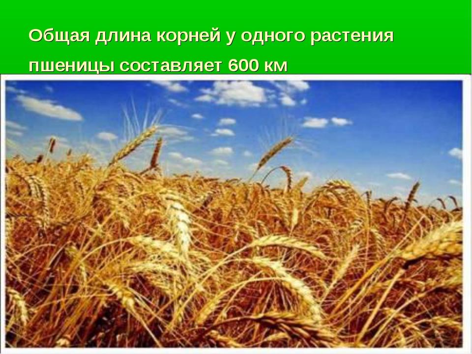 Общая длина корней у одного растения пшеницы составляет 600 км