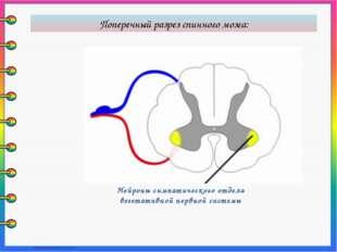Нейроны симпатического отдела вегетативной нервной системы Поперечный разрез