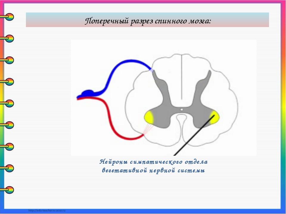 Нейроны симпатического отдела вегетативной нервной системы Поперечный разрез...