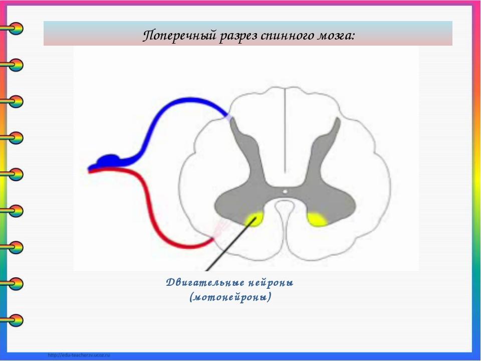 Двигательные нейроны (мотонейроны) Поперечный разрез спинного мозга: