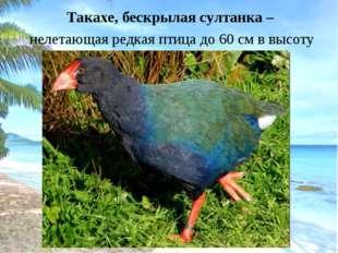 Такахе, бескрылая султанка – нелетающая редкая птица до 60 см в высоту