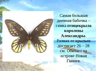 Самая большая дневная бабочка – самка птицекрыла королевы Александры. Размах