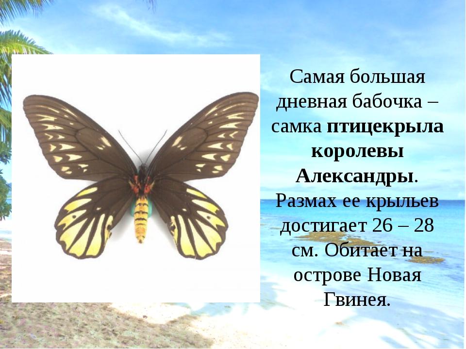 Самая большая дневная бабочка – самка птицекрыла королевы Александры. Размах...