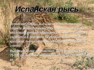 Испанская рысь Испанская рысь — вид класса млекопитающих отряда хищных семейс