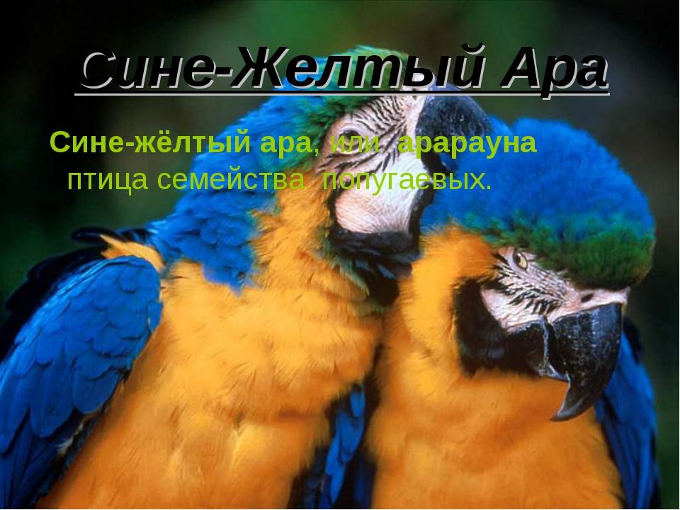 Сине-Желтый Ара Сине-жёлтый ара, или арарауна птица семейства попугаевых.