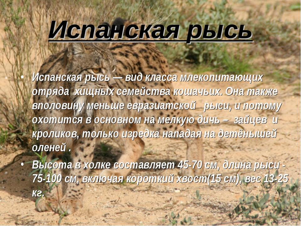 Испанская рысь Испанская рысь — вид класса млекопитающих отряда хищных семейс...