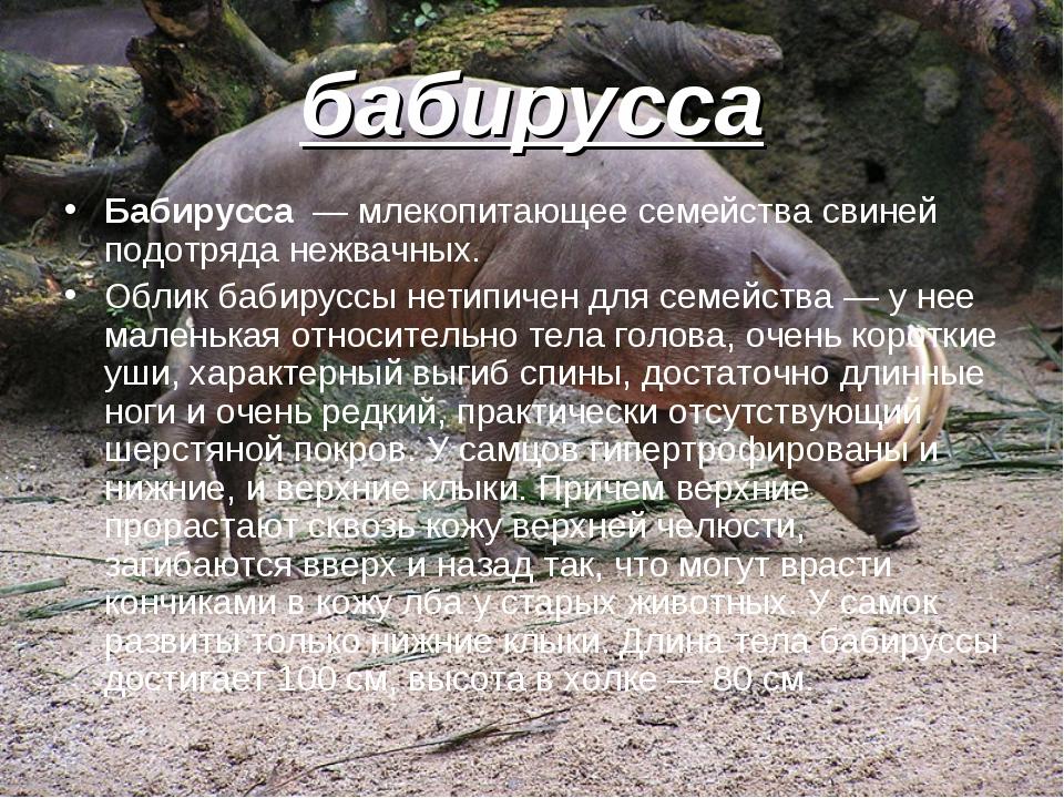 бабирусса Бабирусса — млекопитающее семейства свиней подотряда нежвачных. Обл...