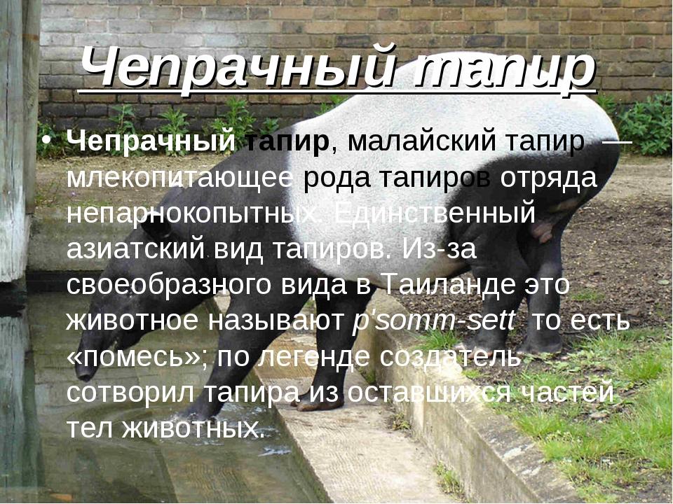Чепрачный тапир Чепрачный тапир, малайский тапир — млекопитающее рода тапиров...