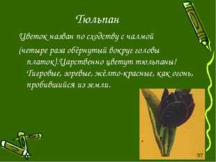 Тюльпан Цветок назван по сходству с чалмой (четыре раза обёрнутый вокруг голо