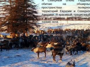 Я Северный олень Гердокай обитаю на обширных пространствах полярной территори