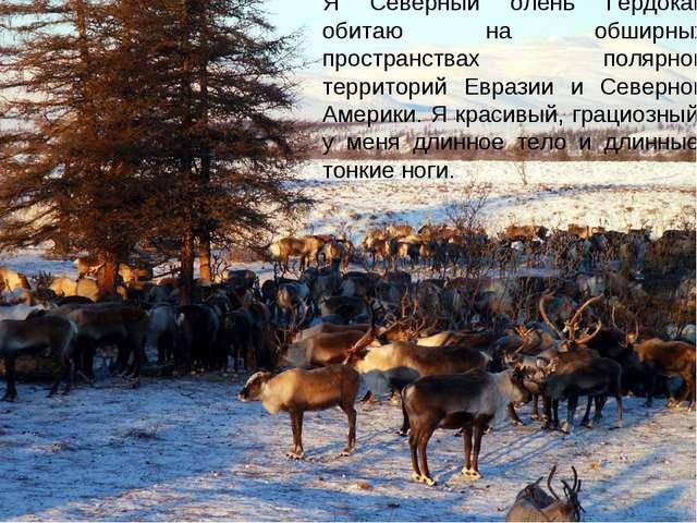 Я Северный олень Гердокай обитаю на обширных пространствах полярной территори...