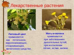 Лекарственные растения Липовый цвет применяется: как потогонное, жаропонижающ