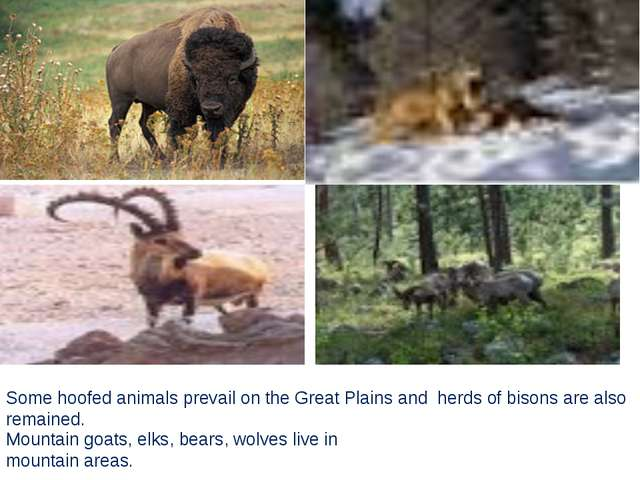 Some hoofed animals prevail оn the Great Plains and herds of bisons are also...