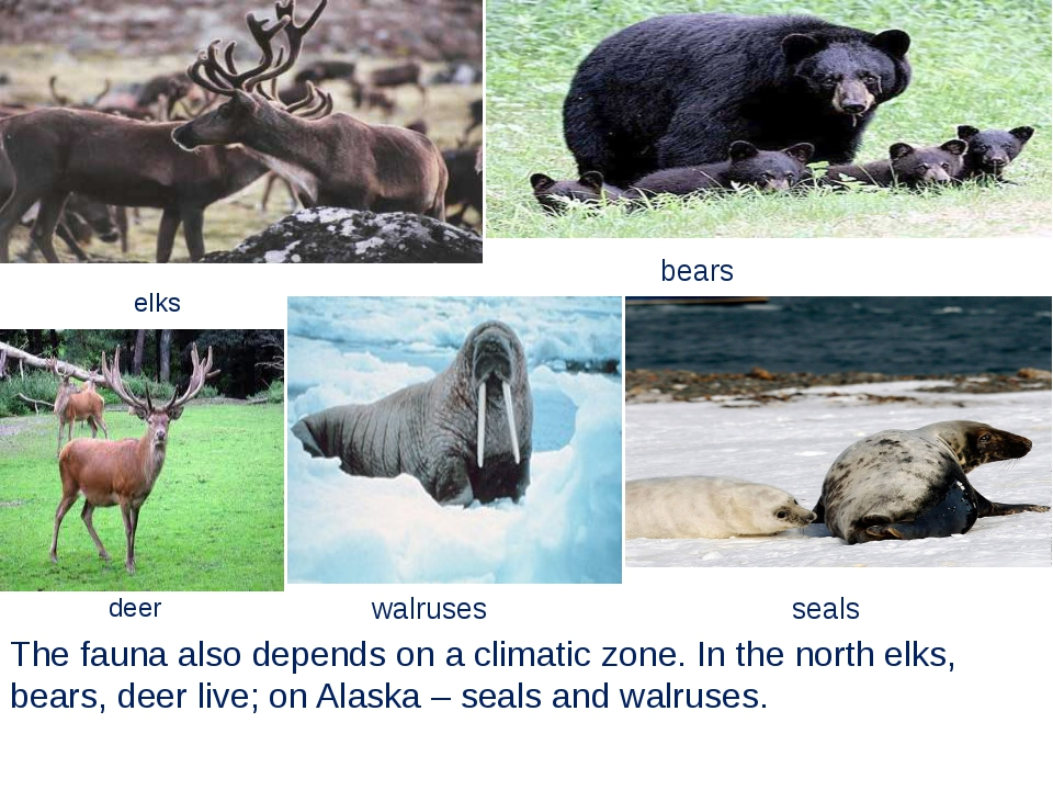 The fauna also depends on a climatic zone. In the north elks, bears, deer liv...