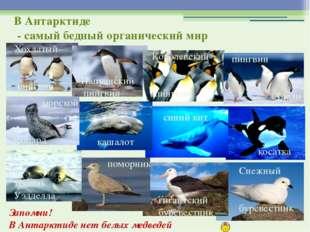 Запомни! В Антарктиде нет белых медведей Хохлатый пингвин Папуанский пингвин