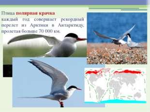 Птица полярная крачка каждый год совершает рекордный перелет из Арктики в Ан