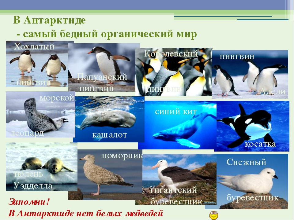 Запомни! В Антарктиде нет белых медведей Хохлатый пингвин Папуанский пингвин...