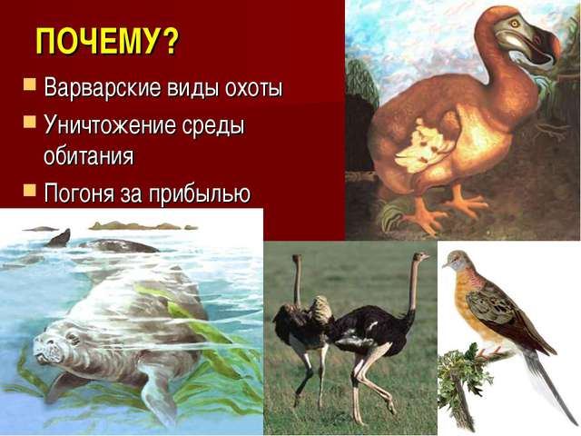 ПОЧЕМУ? Варварские виды охоты Уничтожение среды обитания Погоня за прибылью