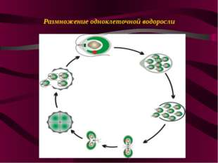 Размножение одноклеточной водоросли