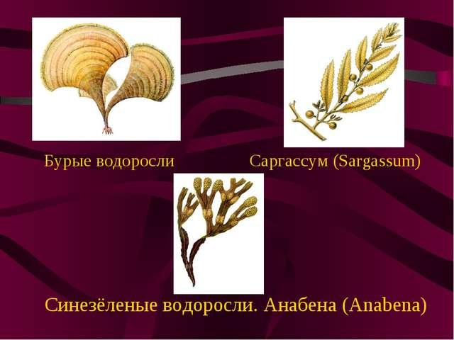 Бурые водоросли Саргассум (Sargassum) Синезёленые водоросли. Анабена (Anabena)