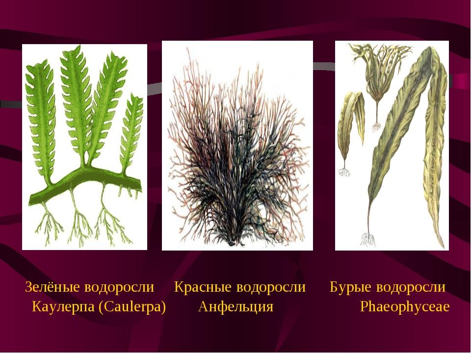 Зелёные водоросли Красные водоросли Бурые водоросли Каулерпа (Caulerpa) Анфе...