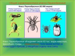 Общая характеристика класса Паукообразные Класс Паукообразные объединяет окол
