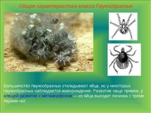 Общая характеристика класса Паукообразные Большинство паукообразных откладыва