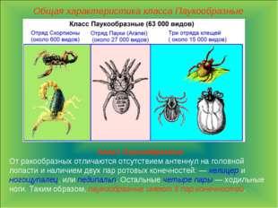 Общая характеристика класса Паукообразные Класс Паукообразные От ракообразных