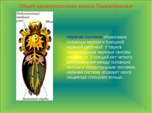 Общая характеристика класса Паукообразные Нервная система образована головным