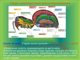 Общая характеристика класса Паукообразные Органы дыхания. У одних органы дыха