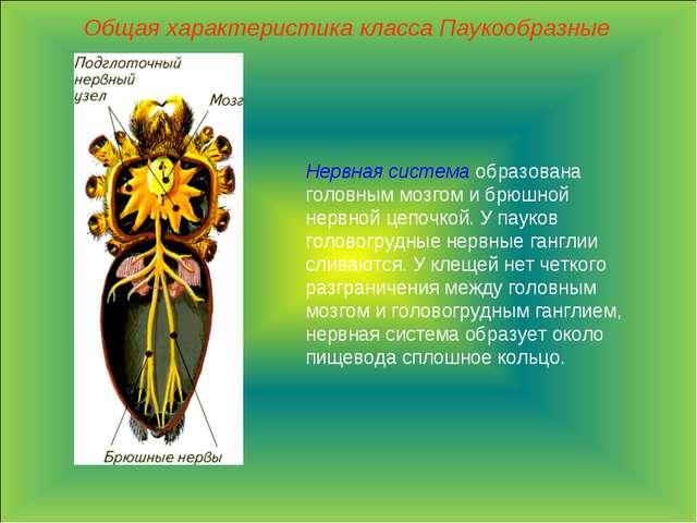 Общая характеристика класса Паукообразные Нервная система образована головным...