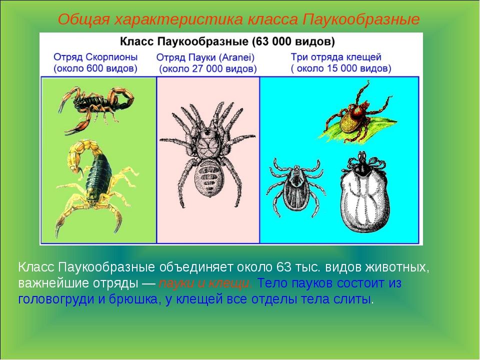 Общая характеристика класса Паукообразные Класс Паукообразные объединяет окол...