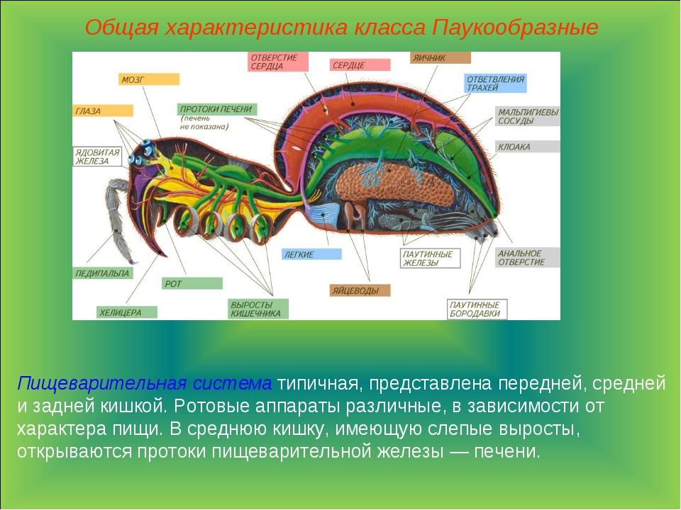 Общая характеристика класса Паукообразные Пищеварительная система типичная, п...