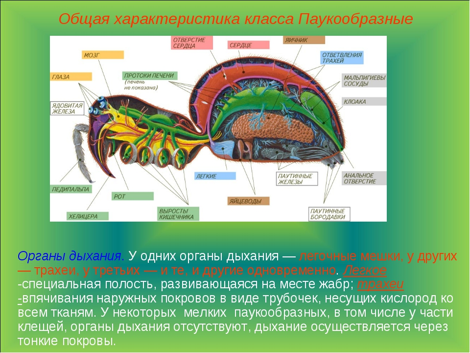 Общая характеристика класса Паукообразные Органы дыхания. У одних органы дыха...