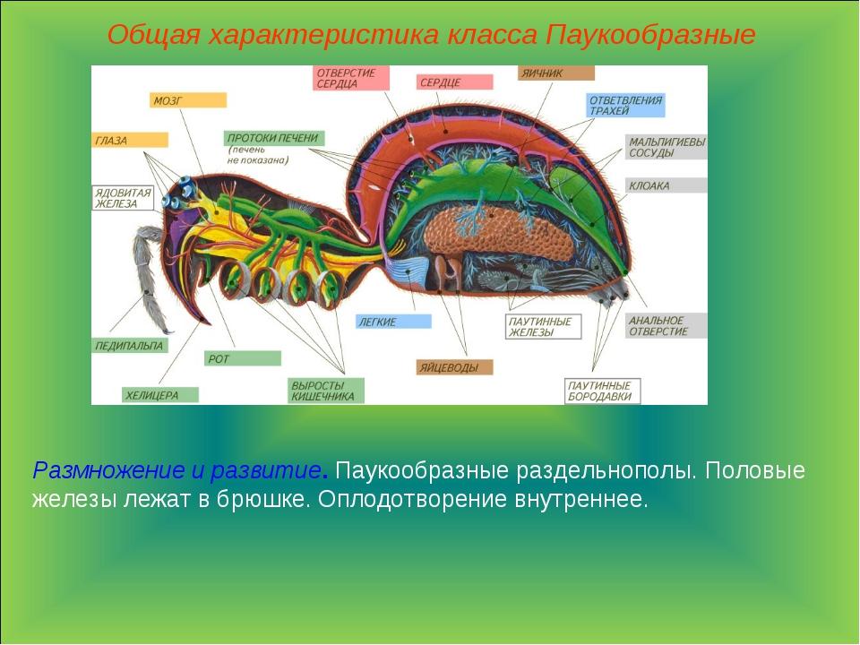 Общая характеристика класса Паукообразные Размножение и развитие. Паукообразн...