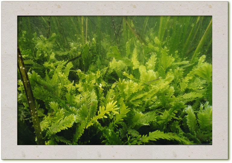 Killer Algae - New Research on Creeping Caulerpas