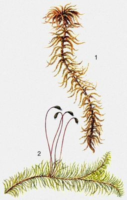 Листостебельные мхи: 1 - Sphagnum fuxum, 2 - Ptilium crista-castrensis. Мхи. Статьи для написания рефератов, курсовых работ, нау