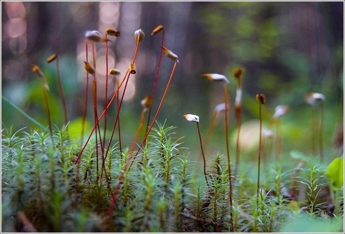 Лечение мхами - Травы - Здрава - Наследие Предковъ - РОДобожие