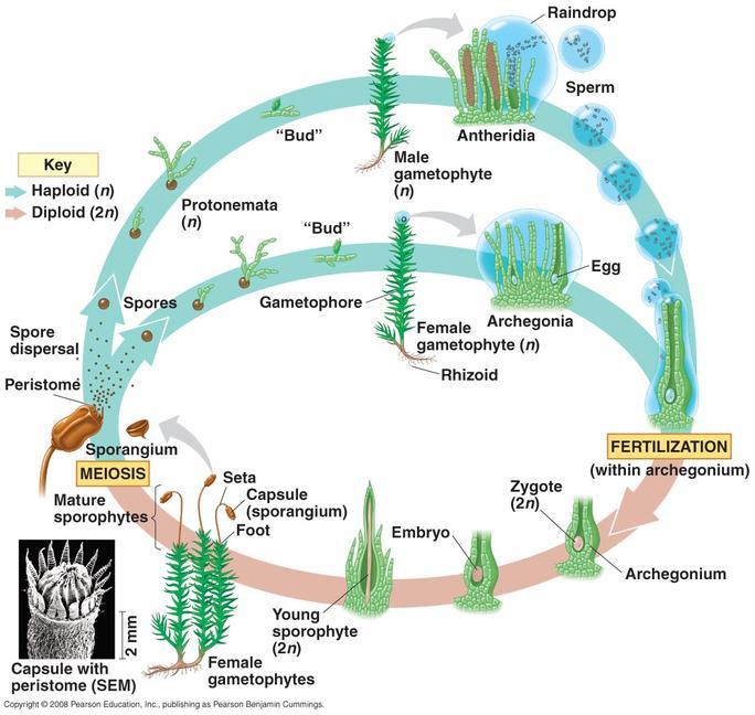 Rhizoid Of Moss
