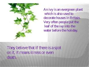 An ivy is an evergreen plant which is also used to decorate houses in Britain