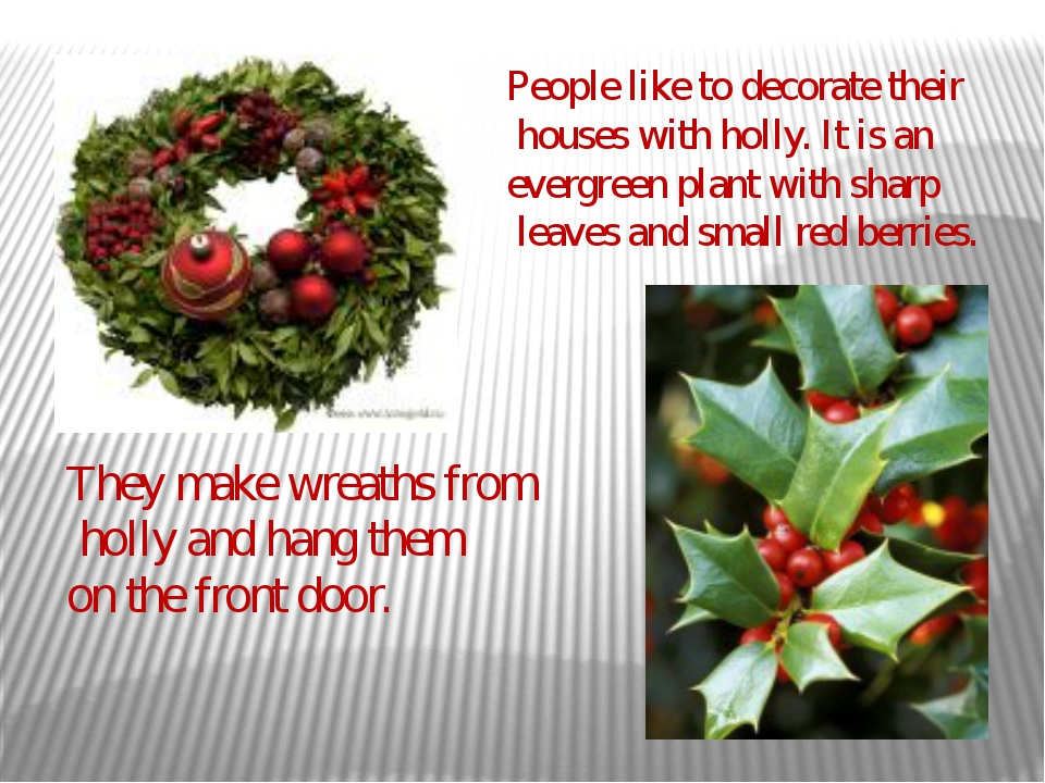 People like to decorate their houses with holly. It is an evergreen plant wit...