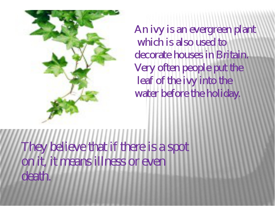 An ivy is an evergreen plant which is also used to decorate houses in Britain...