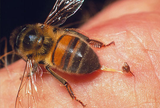 Пчелы, шмель картинки, фото, видео