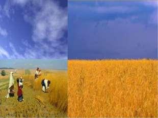 Жовтий колір – це колір пшеничної ниви, зерна, що дає життя всьому сущому на