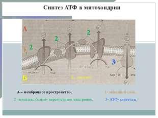 Синтез АТФ в митохондрии А Б 1 2 2 2 А – мембранное пространство, Б – матрикс