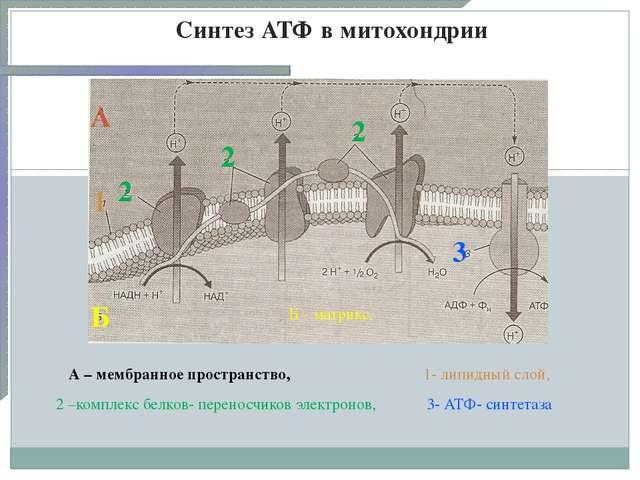 Синтез АТФ в митохондрии А Б 1 2 2 2 А – мембранное пространство, Б – матрикс...