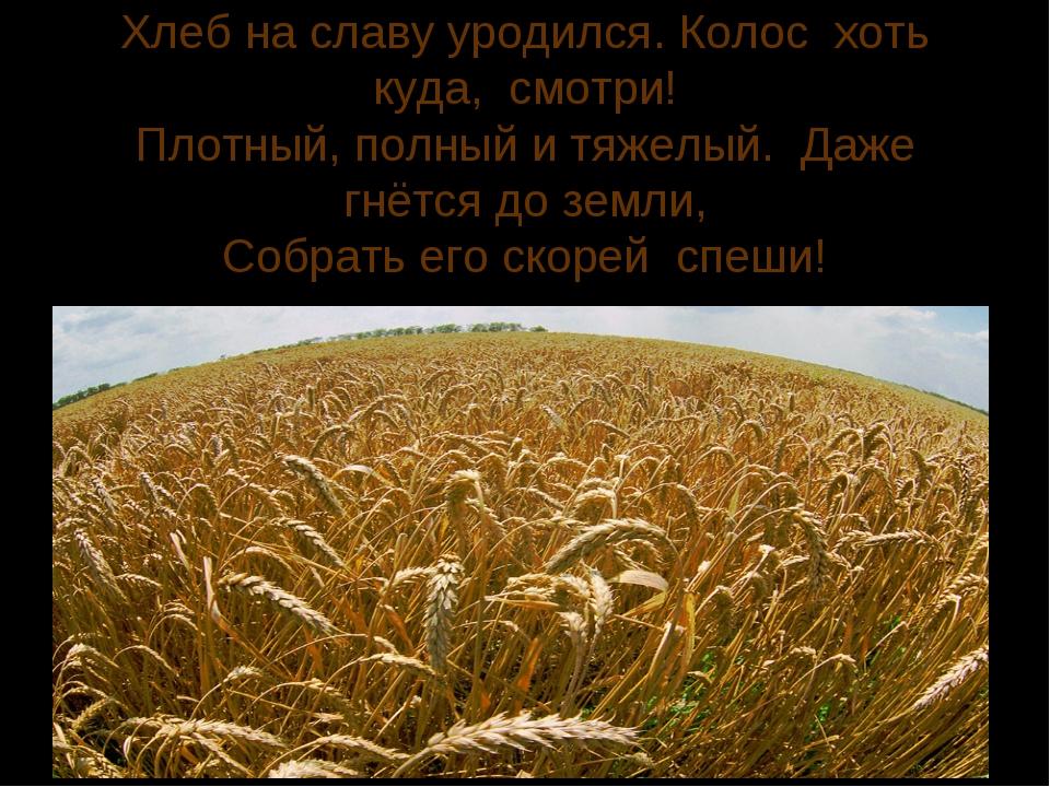 Хлеб на славу уродился. Колос хоть куда, смотри! Плотный, полный и тяжелый. Д...