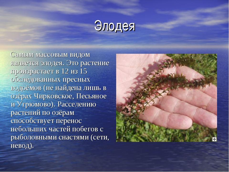Элодея Самым массовым видом является элодея. Это растение произрастает в 12 и...