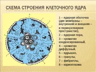 1 – ядерная оболочка (две мембраны – внутренняя и внешняя – и перинуклеарное