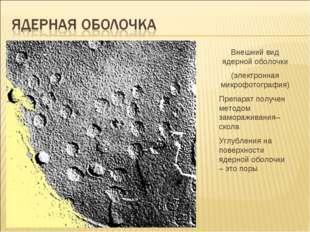 Внешний вид ядерной оболочки (электронная микрофотография) Препарат получен м